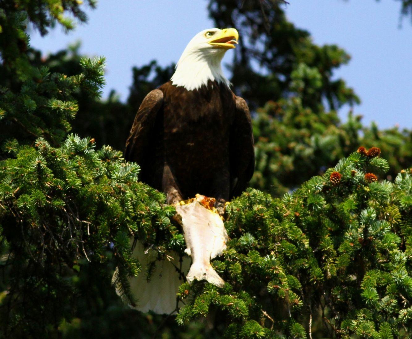 http://www.bartcop.com/astrocat-eagle-lunch.jpg