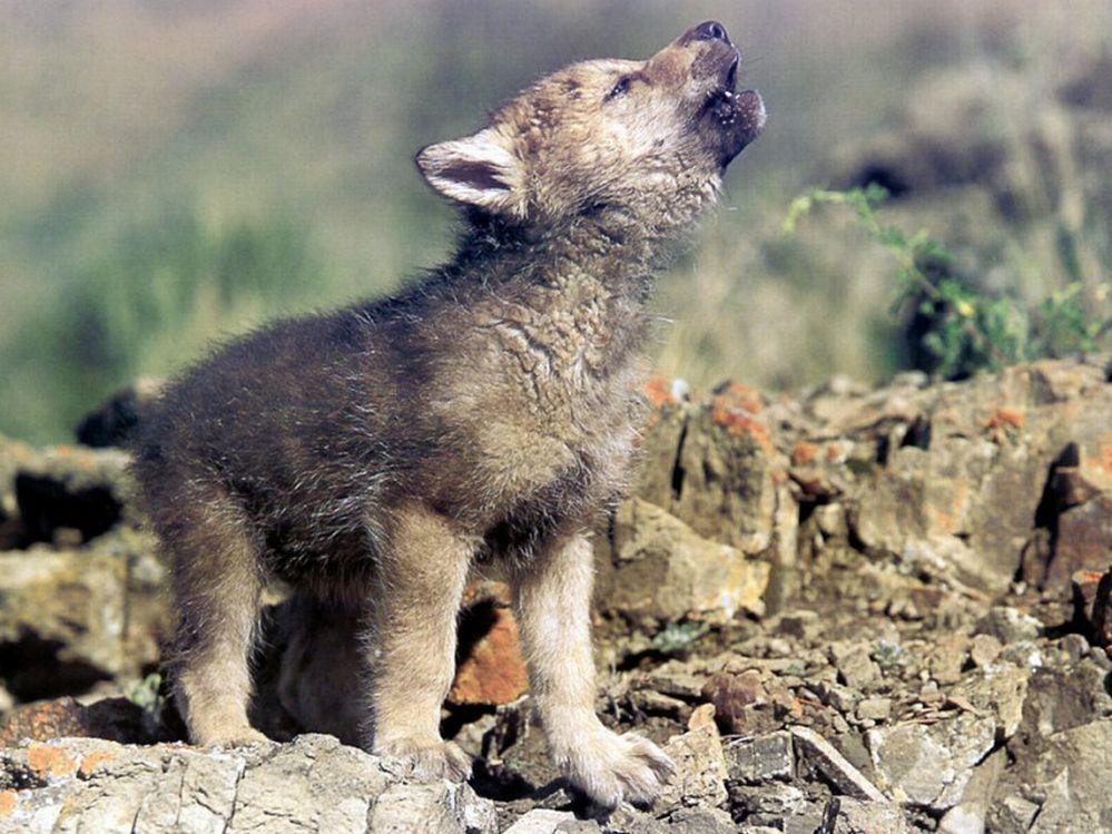 http://www.bartcop.com/beasts-wolf-cub.jpg