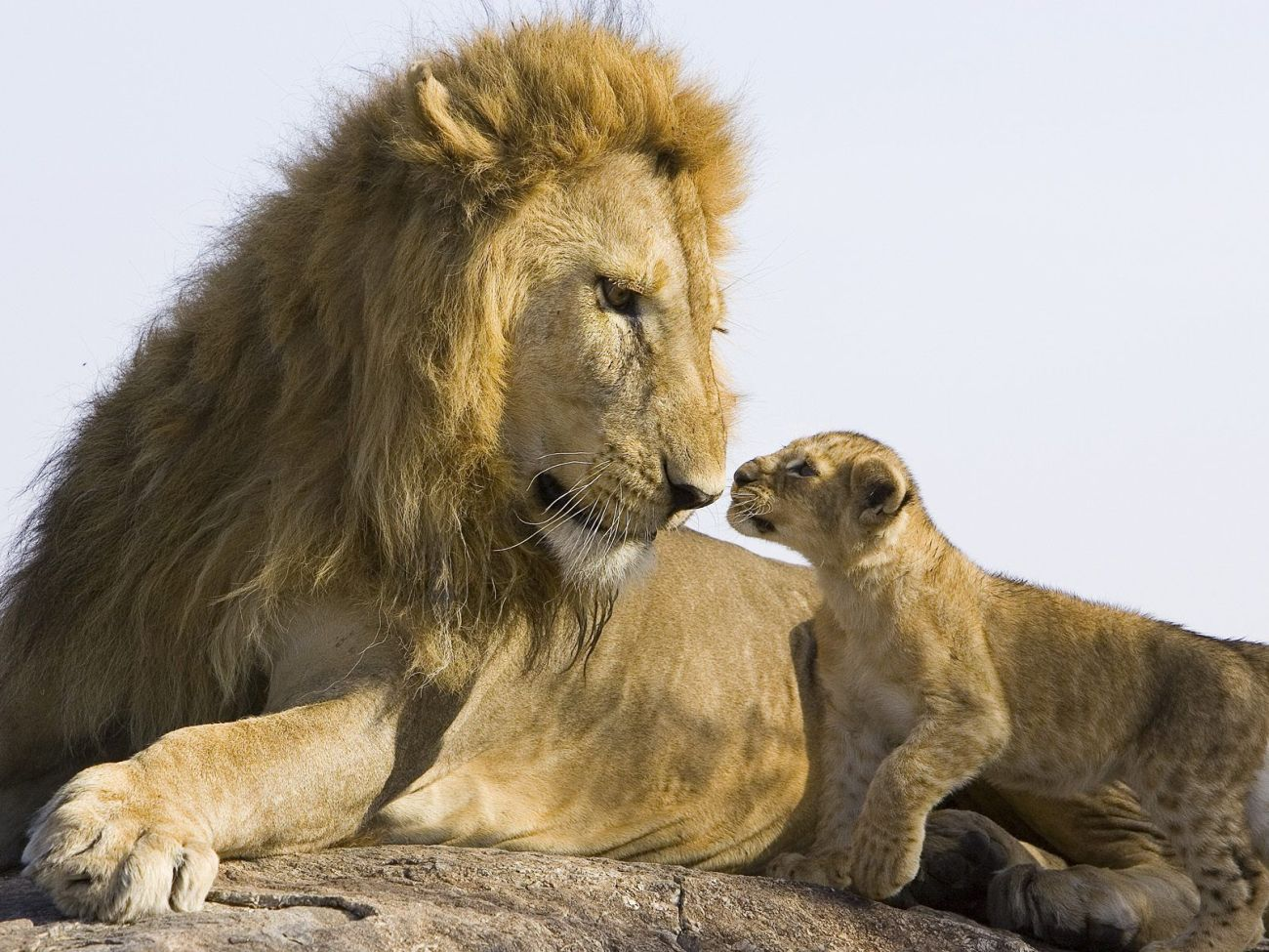 http://www.bartcop.com/lion-and-cub.jpg