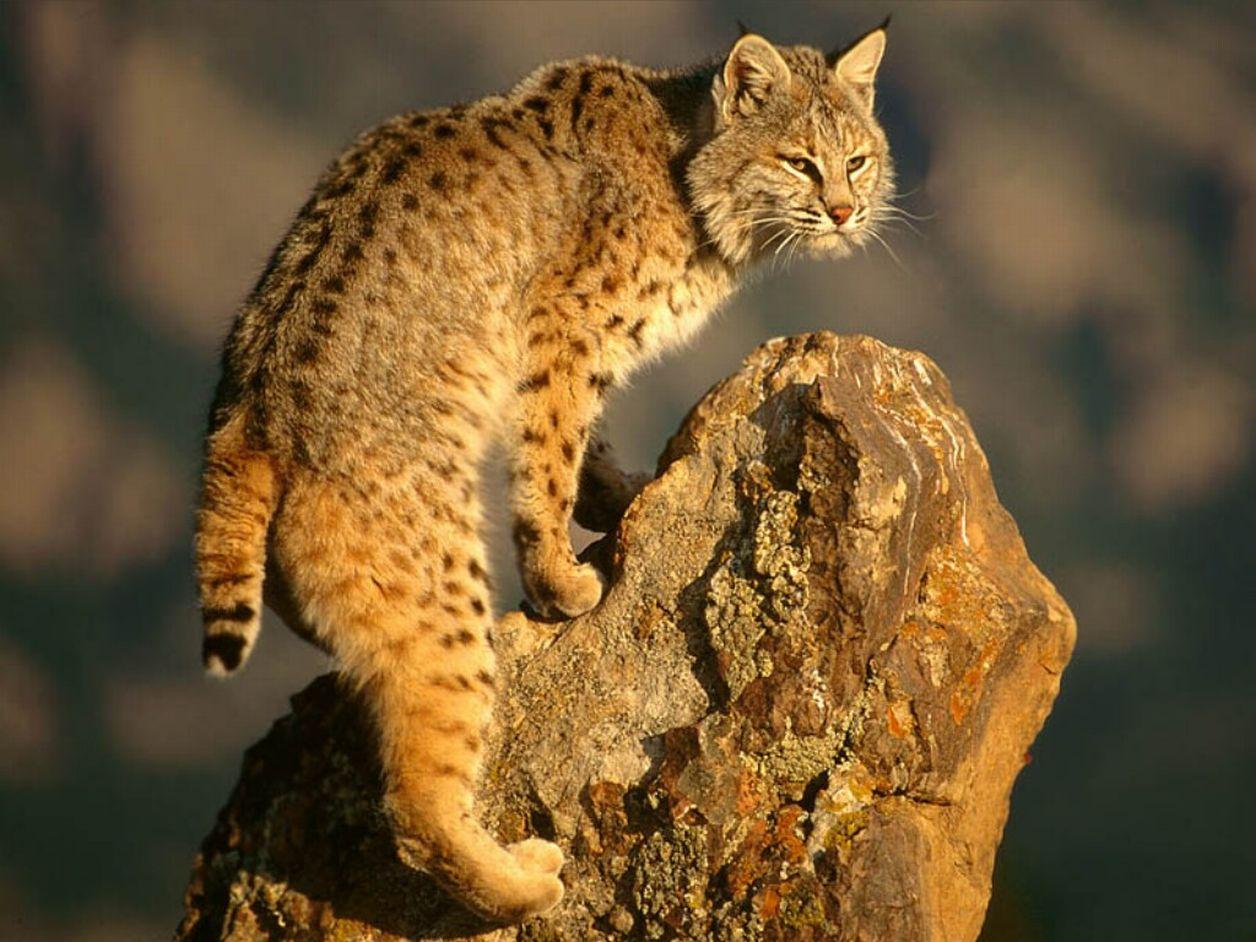 http://www.bartcop.com/scout-bobcat.jpg