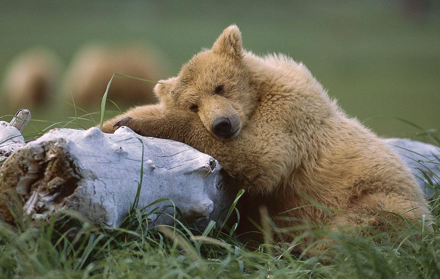 http://www.bartcop.com/tired-bear.jpg